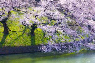 千鳥ヶ淵の桜の写真素材 [FYI04312617]