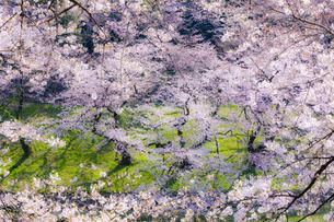千鳥ヶ淵の桜の写真素材 [FYI04312618]