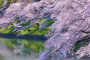 千鳥ヶ淵の桜の写真素材 [FYI04312621]