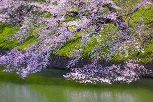 千鳥ヶ淵の桜の写真素材 [FYI04312622]