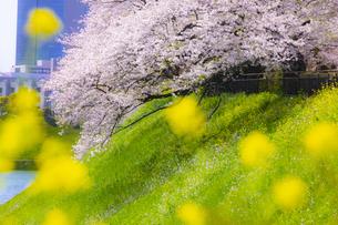千鳥ヶ淵公園の桜と菜の花の写真素材 [FYI04312624]