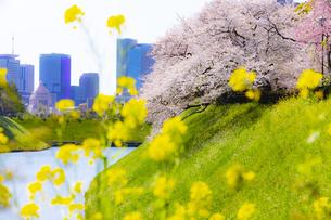 千鳥ヶ淵公園の桜と菜の花の写真素材 [FYI04312625]