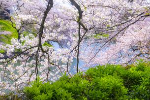 千鳥ヶ淵の桜の写真素材 [FYI04312627]