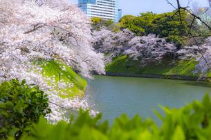 千鳥ヶ淵の桜の写真素材 [FYI04312628]