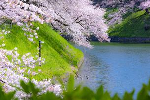 千鳥ヶ淵の桜の写真素材 [FYI04312629]