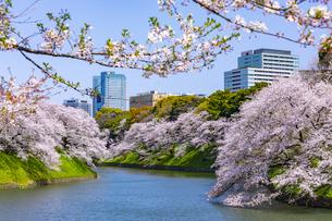 千鳥ヶ淵の桜の写真素材 [FYI04312631]