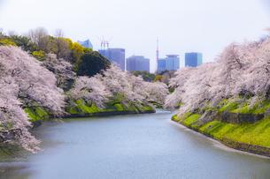 千鳥ヶ淵の桜の写真素材 [FYI04312632]