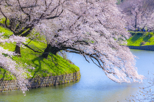 千鳥ヶ淵の桜の写真素材 [FYI04312633]