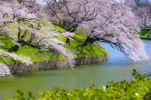 千鳥ヶ淵の桜の写真素材 [FYI04312634]