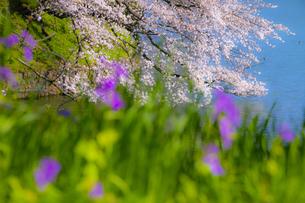 千鳥ヶ淵の桜の写真素材 [FYI04312635]