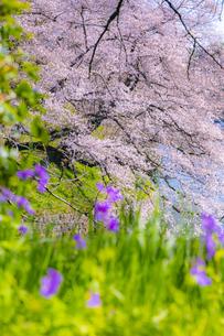 千鳥ヶ淵の桜の写真素材 [FYI04312636]