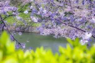 千鳥ヶ淵の桜の写真素材 [FYI04312637]