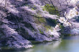千鳥ヶ淵の桜の写真素材 [FYI04312638]