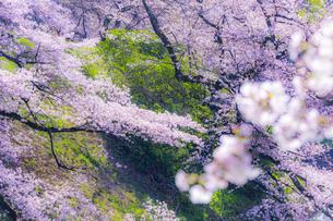 千鳥ヶ淵の桜の写真素材 [FYI04312639]
