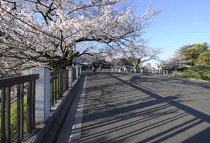 満開の桜と田安門への道の写真素材 [FYI04313143]