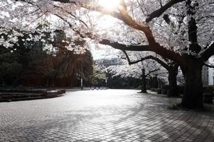 日比谷公園の満開の桜と石畳の道の写真素材 [FYI04313151]