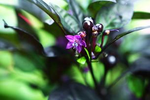 観賞用トウガラシの花と実の写真素材 [FYI04313415]