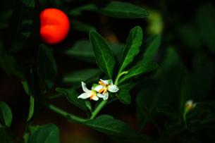 観賞用トウガラシの花と実の写真素材 [FYI04313418]