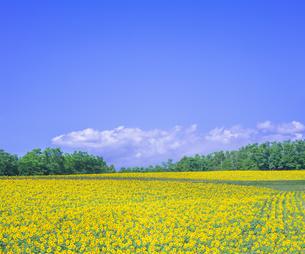 北海道 自然 風景 北竜町 ヒマワリの写真素材 [FYI04313446]