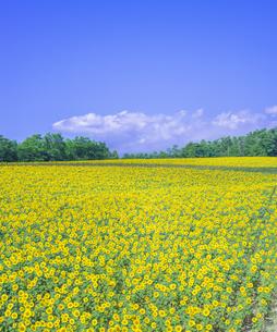 北海道 自然 風景 北竜町 ヒマワリの写真素材 [FYI04313447]