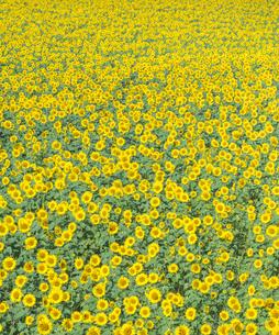 北海道 自然 風景 北竜町 ヒマワリの写真素材 [FYI04313451]