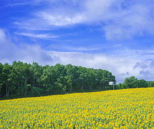 北海道 自然 風景 北竜町 ヒマワリの写真素材 [FYI04313455]
