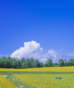 北海道 自然 風景 北竜町 ヒマワリの写真素材 [FYI04313460]