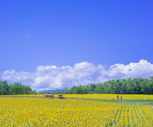 北海道 自然 風景 北竜町 ヒマワリの写真素材 [FYI04313462]