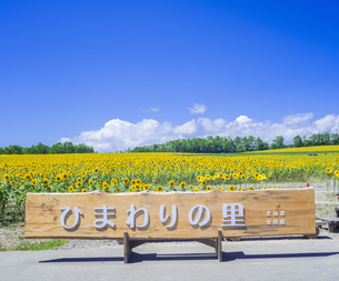 北海道 自然 風景 北竜町 ヒマワリの写真素材 [FYI04313465]