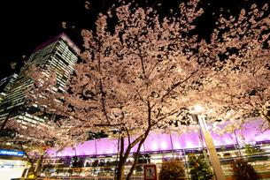 満開の桜と東京駅八重洲口夜景の写真素材 [FYI04313552]