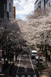 さくら通り桜並木の写真素材 [FYI04313613]