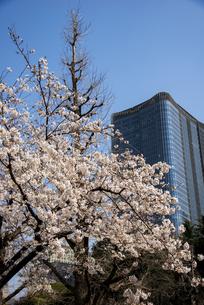 日比谷公園満開の桜と東京ミッドタウン日比谷の写真素材 [FYI04313617]