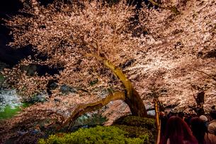 千鳥ヶ淵桜ライトアップの写真素材 [FYI04313658]