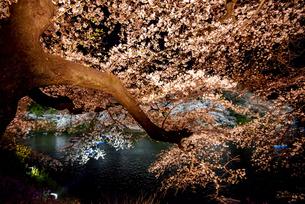 千鳥ヶ淵 ライトアップの桜の写真素材 [FYI04313667]