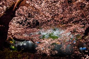 千鳥ヶ淵 ライトアップの桜の写真素材 [FYI04313668]