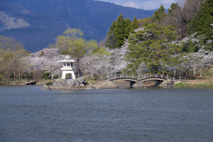 三島池の桜の写真素材 [FYI04314001]
