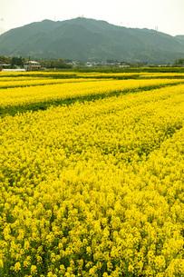 下中野町 菜の花畑の写真素材 [FYI04314091]