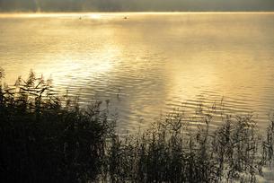 朝日に染まる湖面と葦の写真素材 [FYI04314177]