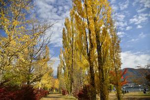 河口湖の大池公園の紅葉したポプラの写真素材 [FYI04314187]