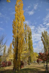河口湖の大池公園の紅葉したポプラの写真素材 [FYI04314190]
