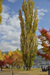 河口湖の大池公園のポプラの写真素材 [FYI04314191]