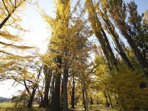 河口湖の大池公園の銀杏とポプラの写真素材 [FYI04314194]