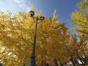河口湖の大池公園の銀杏と外灯の写真素材 [FYI04314198]