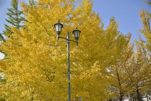 河口湖の大池公園の銀杏と外灯の写真素材 [FYI04314199]