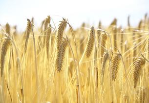 収穫期のビール麦の写真素材 [FYI04314260]