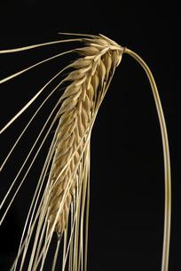 ビール麦の写真素材 [FYI04314266]
