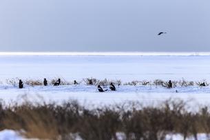真冬の野付半島に集まるオオワシの群れの写真素材 [FYI04314479]