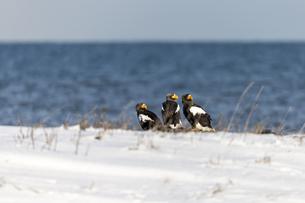 真冬の野付半島に集まるオオワシの写真素材 [FYI04314481]