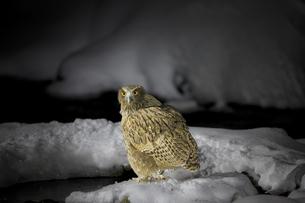 夜の川に餌の魚を探しに来たシマフクロウの写真素材 [FYI04314501]