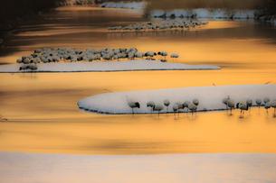 明け方の雪裡川で羽根を休めるタンチョウの写真素材 [FYI04314544]